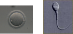 ovocita e spermatozoo